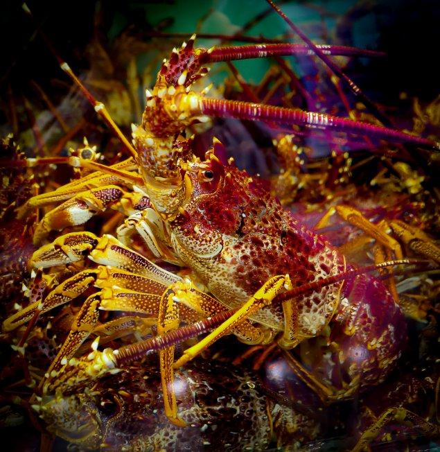 Live Southern Rock Lobster (Min 1.5 Kg)