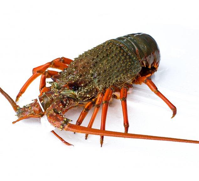 Live Eastern Rock Lobster (850-1kg)