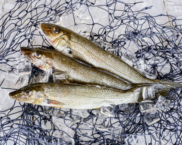 Whole Sand Whiting (1kg)