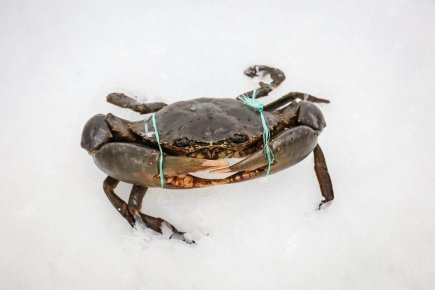 Live Mud Crab (min900gr)